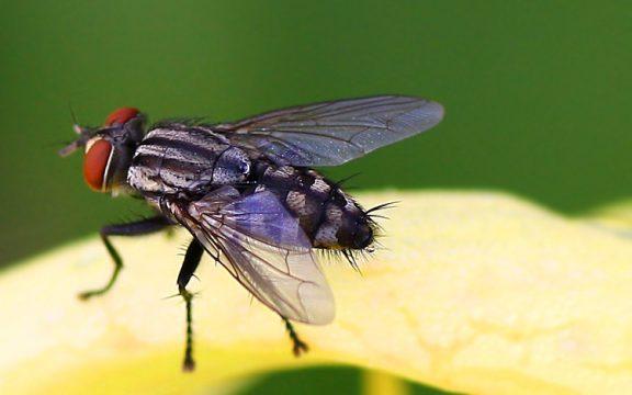 Apakah Kotoran Lalat Najis?