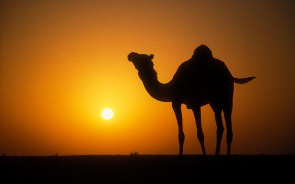Puluhan Kosa Kata Unta dalam Bahasa Arab