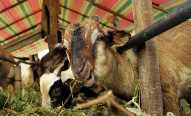 Hukum Mengganti Kurban dengan Uang, bukan Hewan Ternak