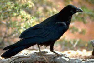 Kisah Ibrahim bin Adham Bertaubat Gara-gara Burung Gagak