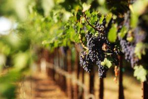 Kisah Rasul Makan Anggur Kecut dan Pahit demi Menghargai Petani