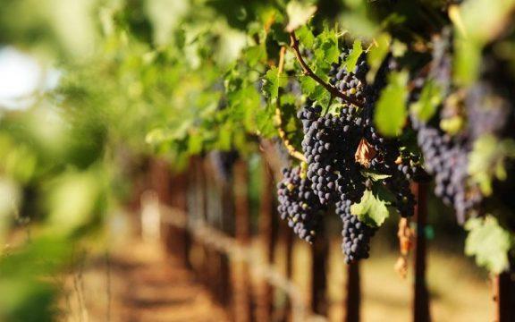 Cerita Rasulullah di Kebun Anggur