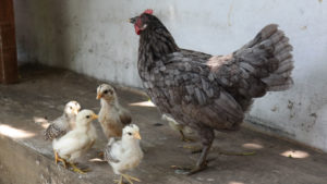 Berqurban dengan Ayam dan Hewan Selain Kambing, Sapi dan Unta